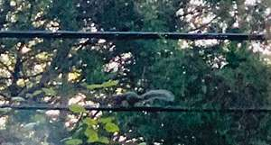 A squirrel running down the power line.